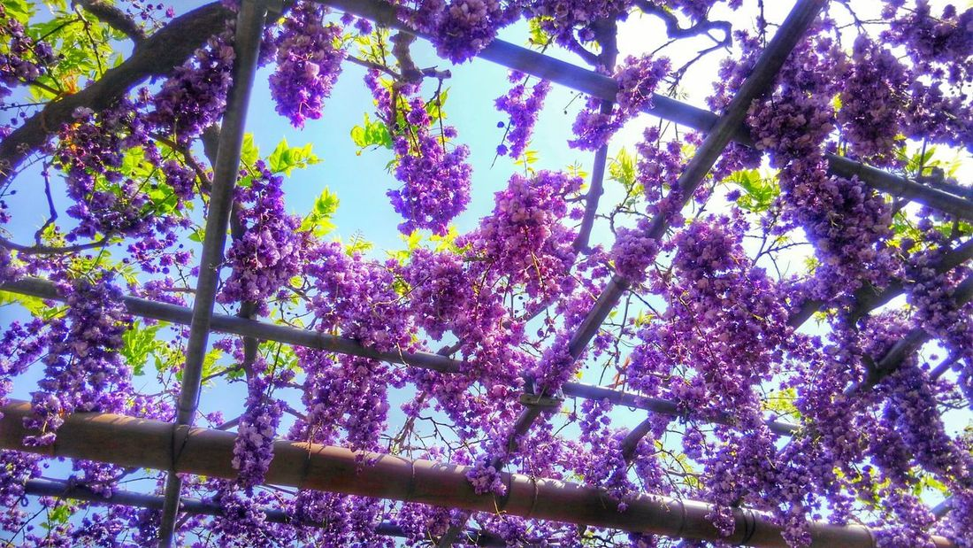 April Wisteria Sky Park Taking Photos Colors Violet EyeEm Gallery Landscapephotography Eye4photography  Purple Beauty In Nature EyeEm Flower CaptureTheMoment EyeEm Nature Lover Eyeemphotography No People Sunlight Happy Moments