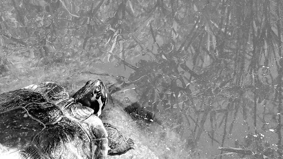 Black And White Turtle Sunbathing Animal Themes Minimalism Outdoors Copy Space Calm Quiet Meditation Reeds Shadow Pattern Peaceful Relaxation Simplicity Mood Attitude Posing Water Close-up Self Reliance Motivational Reducing Stress Poser Art Is Everywhere
