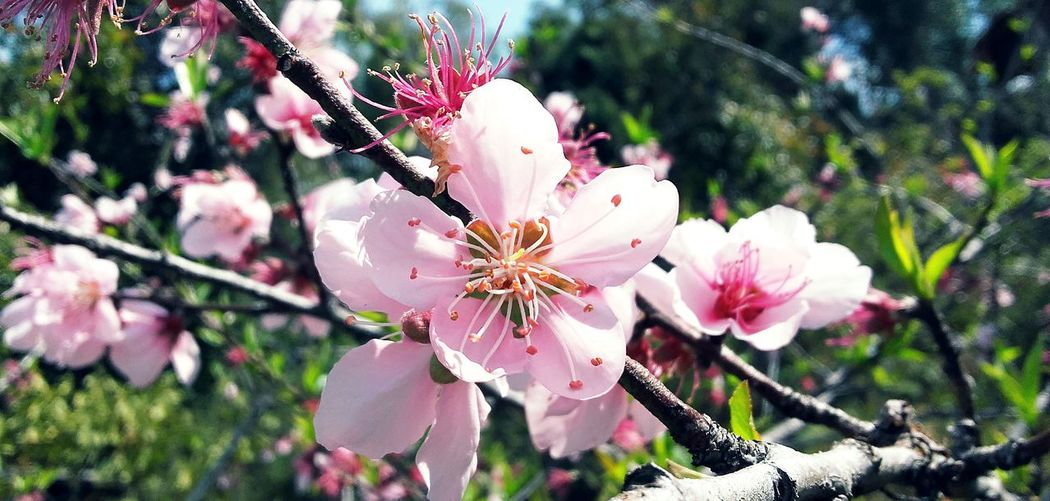 Peach Blossoms Flower Spring