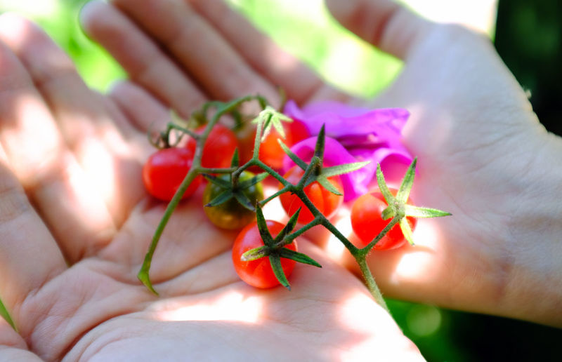 Cherry Tomato Close-up Cropped Flower Focus On Foreground Fragility Freshness Hand Holding Human Body Part Human Finger Leaf Leisure Activity Lifestyles Part Of Person Personal Perspective Plant Real People Sunlight Unrecognizable Person