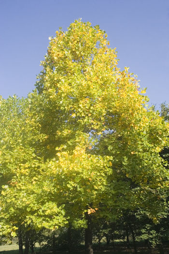 tulip tree - native to eastern north america - in autumn colors Autumn Autumn Colors Beauty In Nature Change Clear Sky Fall Fall Beauty Fall Colors Full Length Germany Growth Liriodendron Liriodendron Tulipifera Low Angle View Magnoliaceae Nature No People NRW Oberhausen Outdoors Ruhrgebiet Single Tree Sunlight Tree Tulip Tree