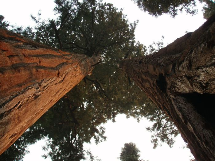 rising up to the sky Bark Beauty In Nature Branch Brown California Crown Day Ground Perspective Growth Hi Low Angle View Nature Nature No People Outdoors Sequoia Sequoia National Park Sky Tree Tree Bark Tree Trunk Treetop Trunk Wood Wood - Material