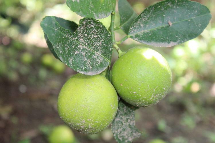 Close-up of wet fruit on tree