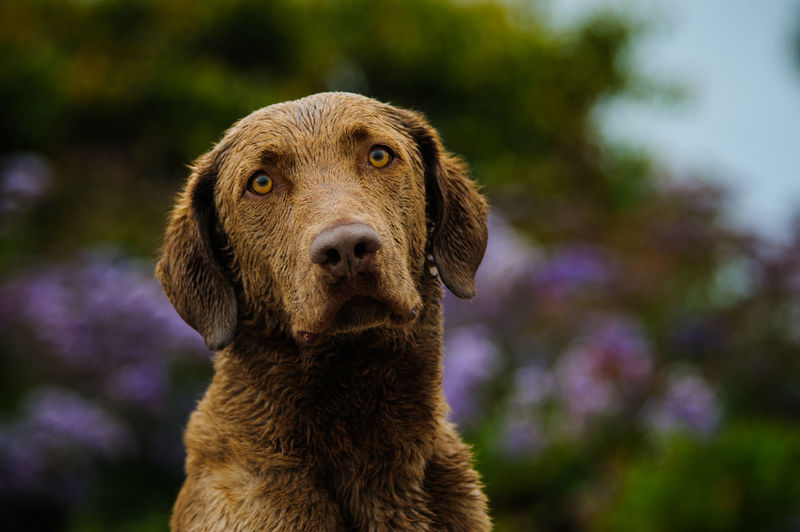 Chesapeake Bay Retriever Animal Themes Chesapeake Bay Retriever Day Hugging A Tree Mammal Nature No People Outdoors Retriever,