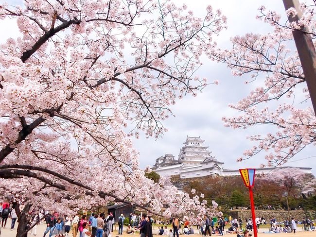 Sakura festivals at Himeji castle Japanese Festival Japanese Architecture Japan Scenery Japanese Culture Japan Himeji Castle Himeji Sakura Festival Sakura Trees Sakura Blossom Sakura Crowd Large Group Of People Group Of People Tree Day Lifestyles Outdoors Cherry Blossom Park