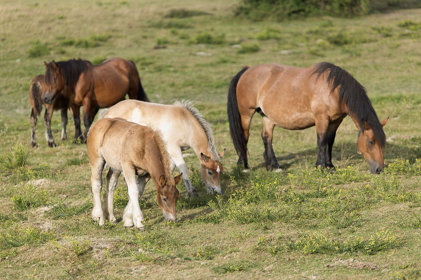 Horses grazing in summer in Navarra, Spain. Grass Horses Mare Navarre SPAIN Animal Animal Themes Animals In The Wild Cow Day Domestic Animals Field Full Length Grass Grazing Horse Livestock Mammal Meadow Nature Navarra No People Outdoors Young Animal