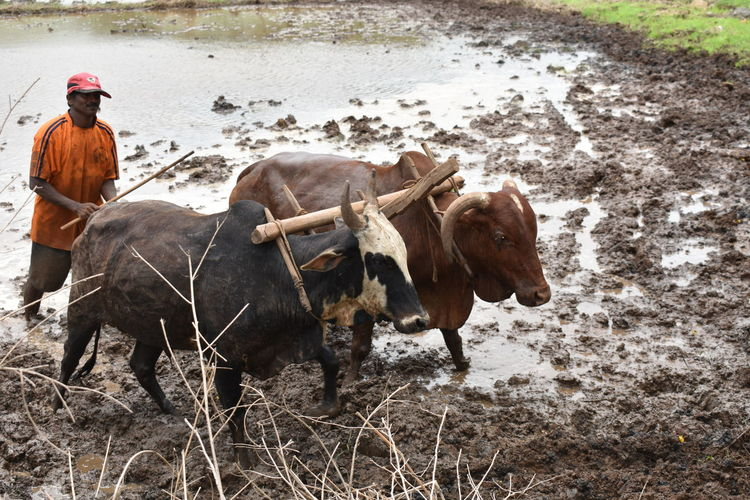 Indian Farmer photography from Roha Maharashtra India EyeEm Selects Working Manual Worker Occupation Farmer Men Full Length Agriculture American Bison Livestock
