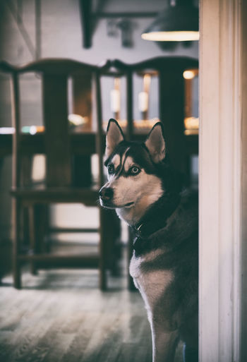 Silver One Animal Domestic Pets Canine Looking Door Entrance Home Interior Siberian Husky Huskylife Taking Photos Silver The Husky Hemma Bäst Home Sweet Home Kitchen Köket Hund My Pet No People Indoors  Day Domestic Animals Fujifilm Fujifilm X-H1 EyeEm Pets