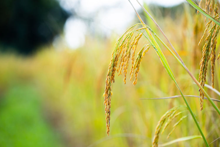 Rice grains in
