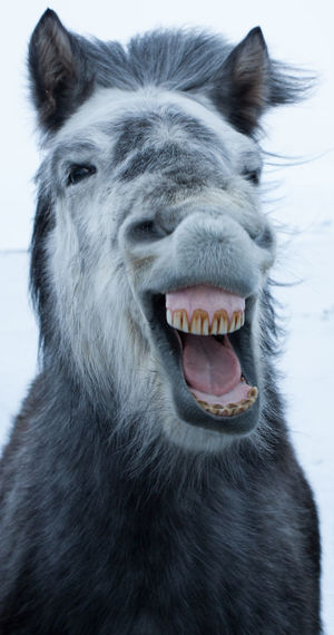 Iceland Pony appearing to be laughing Iceland Pony Laughing Pony Animal Head  Animal Themes Close-up Cold Temperature Day Grey Horse Mammal Mouth Open Nature No People One Animal Teeth Winter