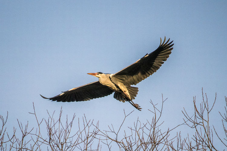 Low angle view of heron flying against sky