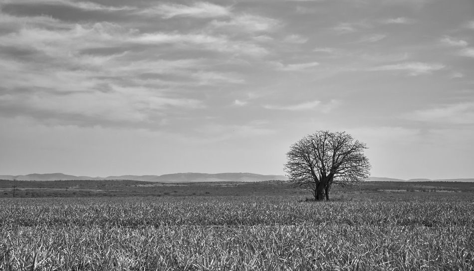 Lone Tree Sky Cloud - Sky Land Environment Plant Field Landscape Nature Tranquility Scenics - Nature Single Tree Outdoors Tree
