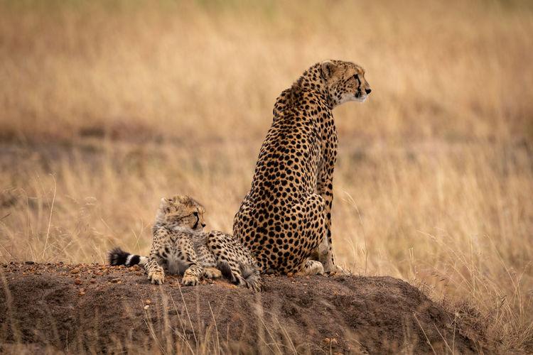 Cheetah on land