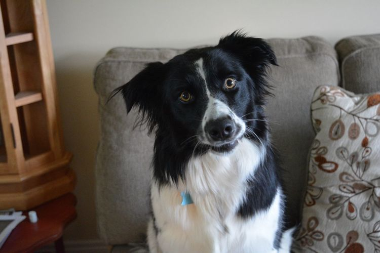 Border Collie Dog Sitting Portrait Day Indoors  Close-up Flossy No People Black Color Looking At Camera One Animal Domestic Animals Home Interior EyeEmNewHere