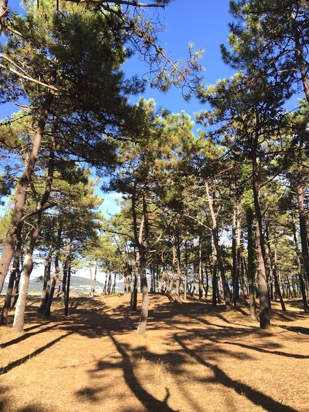 Tree Shadow Sunlight Growth Tranquil Scene Road Tranquility Scenics Nature Day Tree Trunk Travel Destinations Tourism WoodLand Vacations Beauty In Nature Non-urban Scene Sunny The Way Forward Tall - High Pinetrees SPAIN Galicia Pine Trees