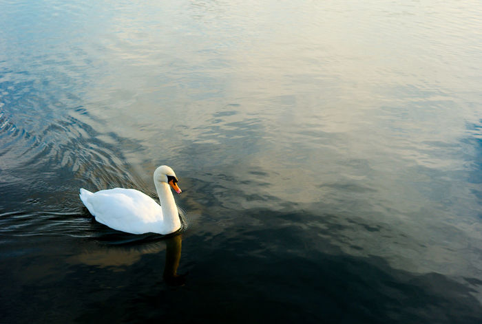 The Swan Animal Themes Animal Wildlife Animals In The Wild Bird Canoe Lake Day Lake Nature No People One Animal Outdoors Swan Swimming Water Water Bird White Color
