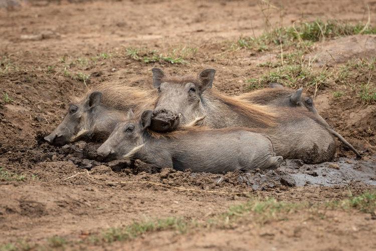 Warthogs relaxing on land