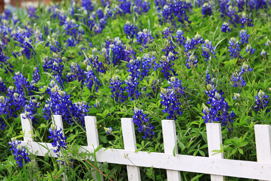 Barrier Beauty In Nature Blue Boundary Day Fence Field Flower Flower Head Flowerbed Flowering Plant Fragility Freshness Green Color Growth Land Nature No People Outdoors Plant Purple Springtime Vulnerability