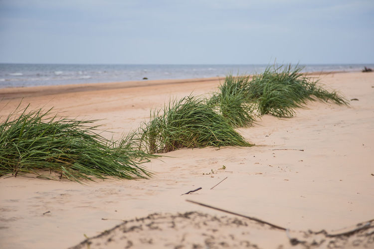 A green seaside grass growing in the sand. Beautiful beach flora in the wind. Sea shore scenery with plants. Beach Day Grass Growth Nature No People Outdoors Plant