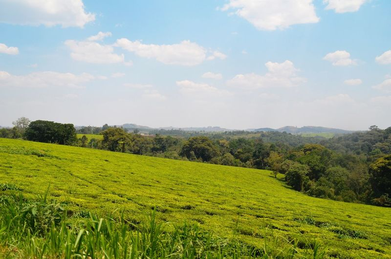 Tea plantation, Uganda, Fort Portal, Africa. PG Tea Plant Tea Plantations Tea Plantation  Tea Landscape Plant Sky Beauty In Nature Scenics - Nature Tranquility Cloud - Sky Growth Field Tranquil Scene Green Color Land Environment Agriculture Rural Scene Nature No People Crop  Farm Capture Tomorrow