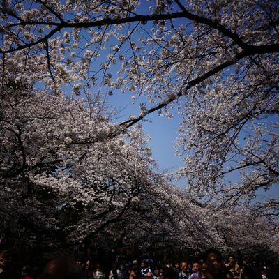 桜🌸Japan Sakura 桜 Spring