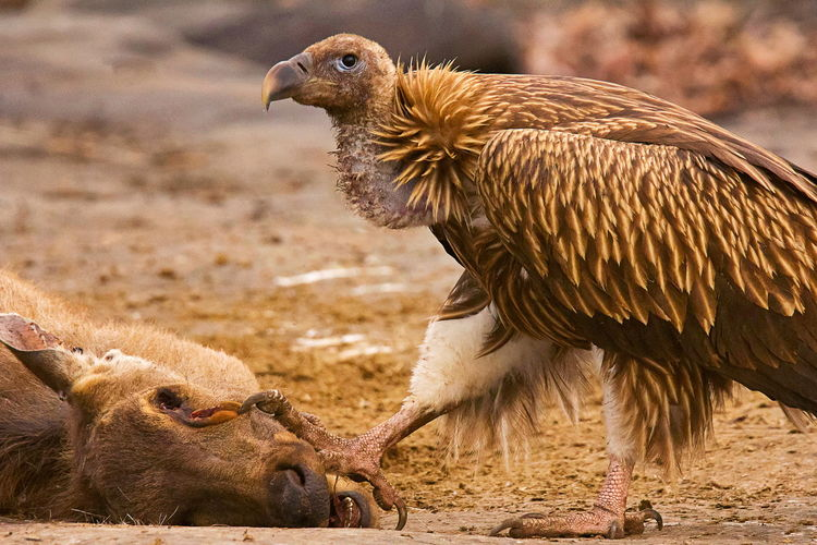 Close-up of vulture by prey on land