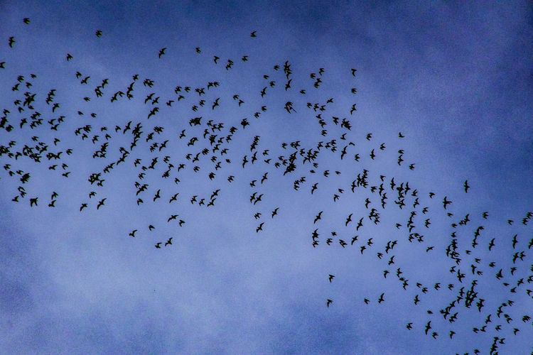 Bats Flock Of Bats Bats Flying Mulunationalpark Bats Caves Nature Smart Nature Protect The Bats Save The Bats Bats Are Awesome Save The Rainforest Flying Togetherness Blue Colony Sky Blue Color Upward View Wildlife Spread Wings Wild Animal Flight
