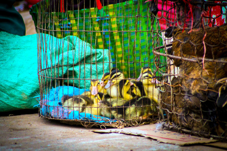 Qhuy Non, Vietnam Vietnam Travel Travel Photography Street Photography Street Market Ducklings Ducklings For Sale Animals In Captivity Cage Fishing Net Trapped For Sale Commercial Fishing Net Close-up Variation Ducks Livestock