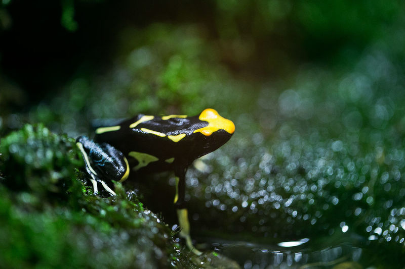 Close-Up Of Yellow-Banded Poison Arrow Frog