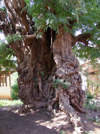 Another Old Gnarled Tree Trunk, Kakku Beauty In Nature Composition Full Frame Gnarled Gnarled Tree Trunk Growth Inle Lake Kakku Myanmar Nature No People Old Tree Old Tree Trunk Outdoor Photography Shan State Sunlight And Shadows Tourism Tourism Destination Tourist Attraction  Tourist Destination Tree Tree Trunk Unusual