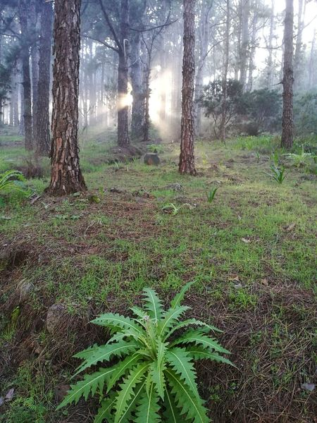 Las Raíces Tenerife Tree Nature Beauty In Nature Forest Tranquil Scene
