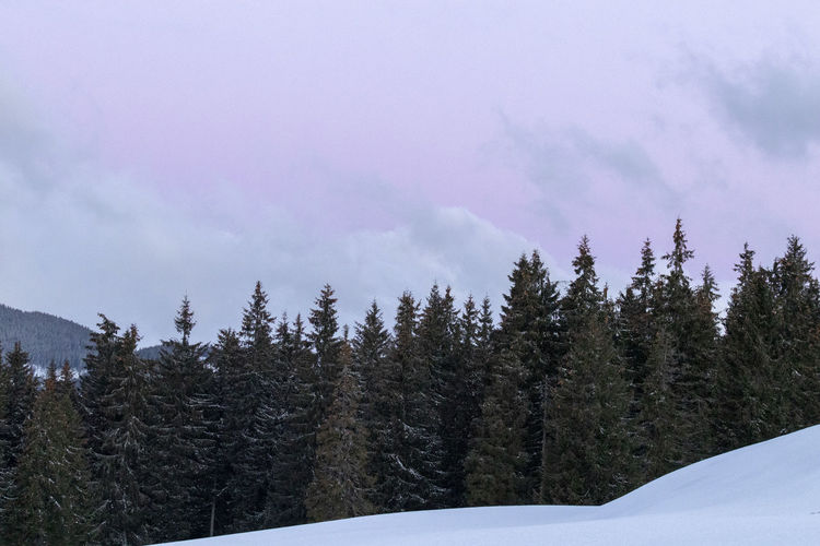 Pine trees in forest against sky during winter