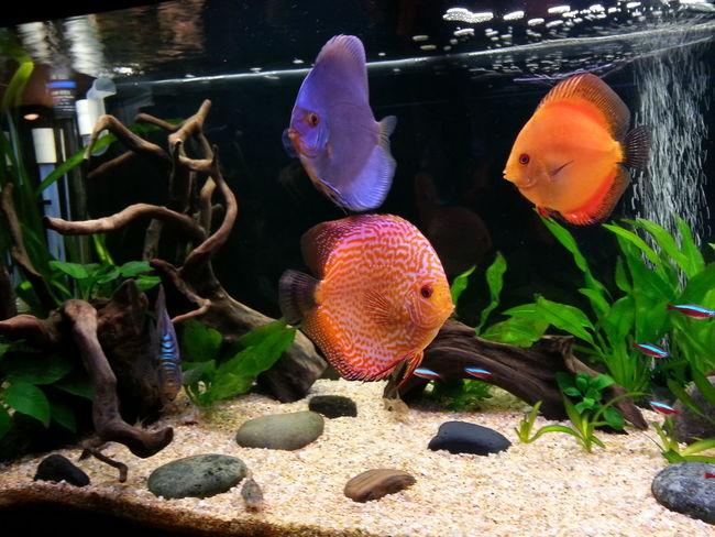 Discus Discusfish Aquarium