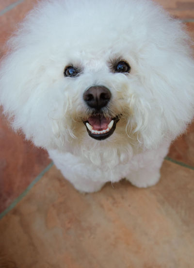 Bichon Frise dog Snout Animal Mouth Close-up Animal Hair Mouth Open Animal Head  Dog Canine Pets Animal Themes Animal White Color Looking At Camera No People Animal Body Part Portrait Small High Angle View One Animal Bichon Bichon Frise Purebred Dog White Dog Smiling Happy