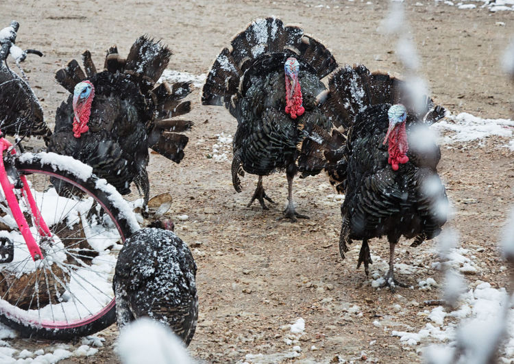 High angle view of turkeys on field during winter