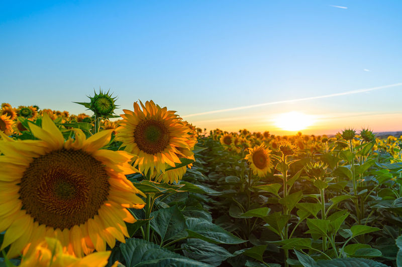 Sunflowers growing on field against sky at sunset