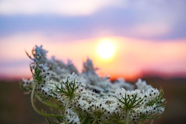 Close-up of purple flowering plant against sky during sunset