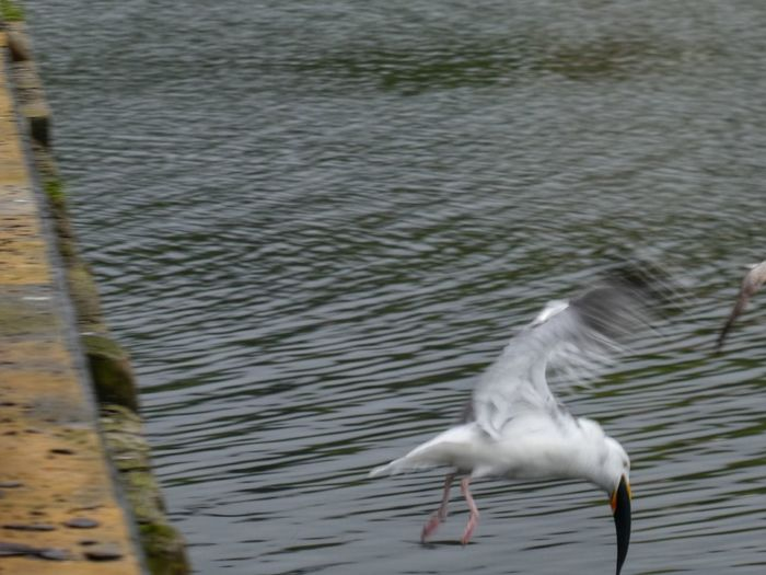 Gull eating a fish Birds Of EyeEm  Stornoway Outer Hebrides Scotland Bird Eating Fish Bird Eating Animal Themes Animal Animal Wildlife Bird Animals In The Wild One Animal Vertebrate Water Flying Lake Spread Wings No People Rippled Day Nature Waterfront Motion Water Bird Outdoors Seagull