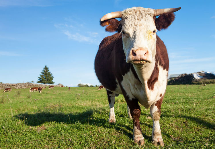 Cow standing on field against sky