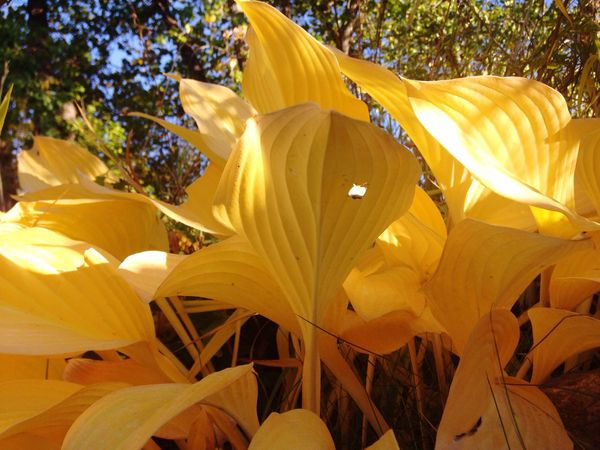 Paint The Town Yellow Hostas In Is Fall Color , Yes YELLOW My Favorite Color Petal Growth Flower Yellow Fragility Nature No People Flower Head Beauty In Nature Outdoors Plant Day Freshness Blooming Close-up Day Lily Summer Exploratorium
