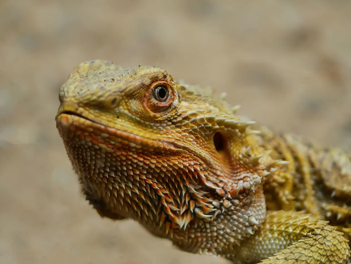 Lizard Watching Lizard Lizard Close Up Lizard Photography Reptile Looking At Camera Close-up One Animal Animal Wildlife Animals In The Wild Animal Iguana Portrait Animal Themes Nature Day Domestic Animals Animal Head  Animal Photography