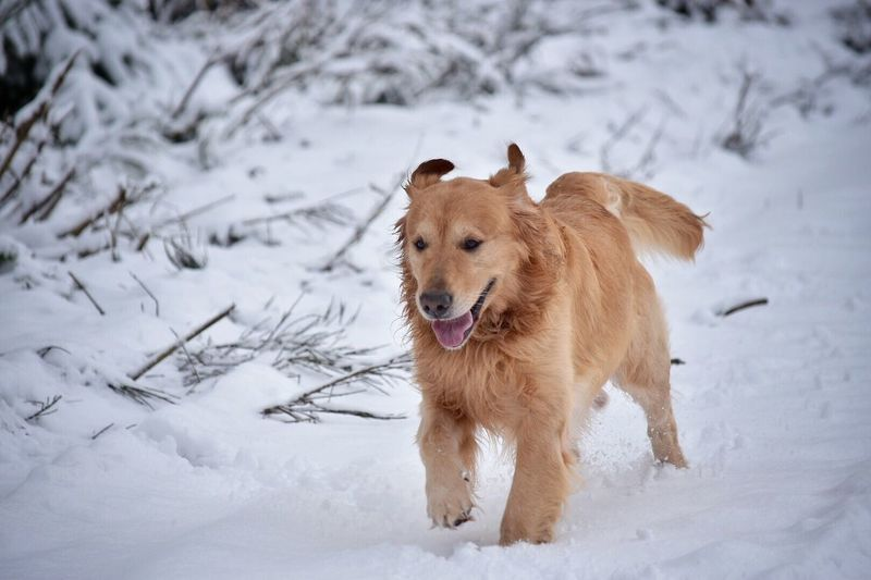 Winter Snow Cold Temperature Dog Animal Themes Weather Looking At Camera Mammal Pets Field Nature Outdoors Portrait Day No People Domestic Animals Beauty In Nature Pet Photography  Outdoor Photography Dogs Of EyeEm Golden Retriever Snow ❄ Winter Snow Covered Running