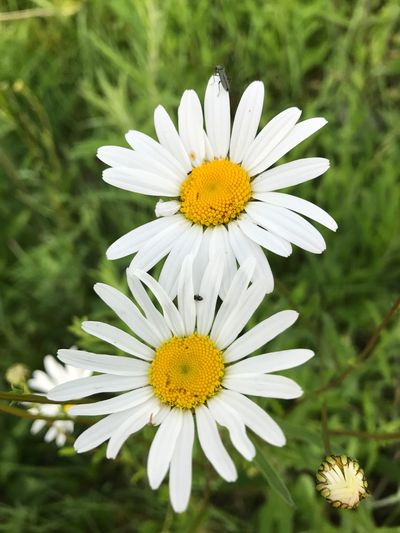Flower Nature Growth Yellow Petal Daisy White Color