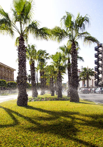 Lawn sprinkling in Las Americas resort. Tenerife, Canary Islands. Spain Canary Islands Gardening Grass Irrigation Equipment Las Américas, Tenerife Nature SPAIN Sprinkler In Grass Sunlight Day Europe Garden Irrigation System Las Americas Lawn No People Outdoors Palm Trees Sprinkler Sprinkler System Sunny Day Tenerife Tenerife Island Tourist Resort Tropical Climate