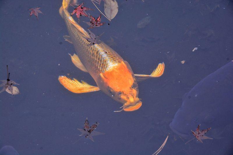 High angle view of koi fish in lake