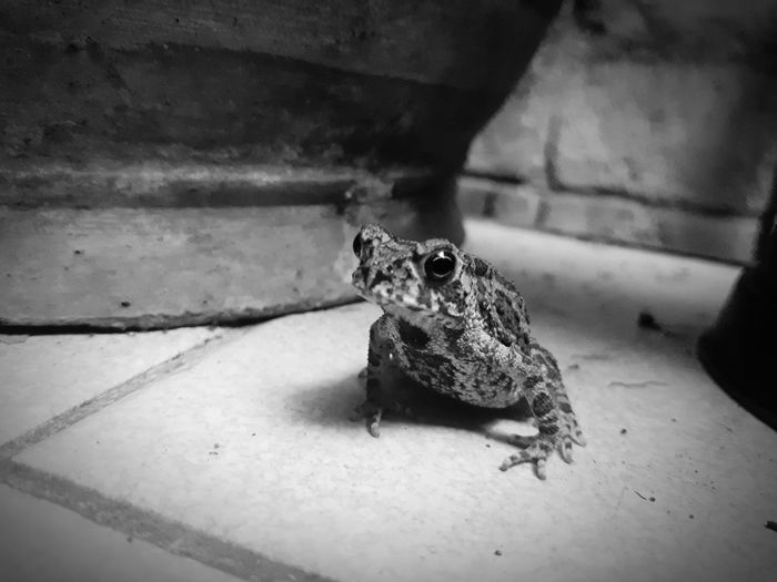 Close up toad on ground Food Countryside Jolly Half Amphibian Toad Animal Animal Themes Amphibian Bufo Bufo Common Toad Creature Isolated Home Background Wall Nature New Life Black And White Frog Small One Animal Reptile Close-up Bearded Dragon