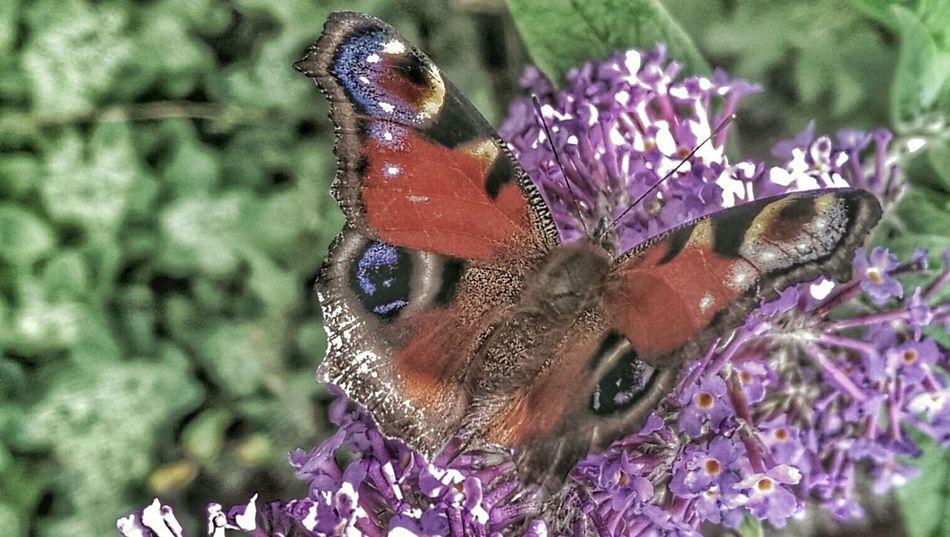 Peackock Butterfly Butterfly ❤ Butterflyporn Butterfly Collection Nature_collection Peacockbutterfly Hdr Edit Snapseed Editing