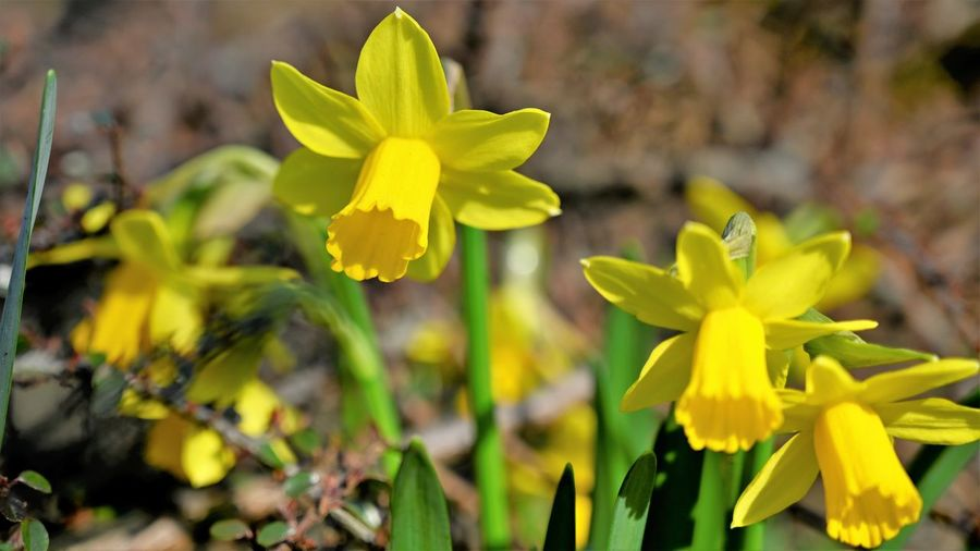 Flower Flowering Plant Yellow Plant Vulnerability  Fragility Beauty In Nature Close-up Growth Freshness Petal Flower Head Focus On Foreground Inflorescence Nature No People Day Daffodil Outdoors