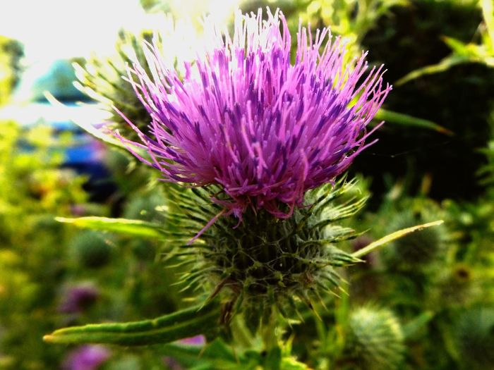 Sommergefühle Flower Growth Purple Nature Beauty In Nature Plant Focus On Foreground Thistle Close-up Fragility No People Day Outdoors Flower Head Freshness Sommergefühle