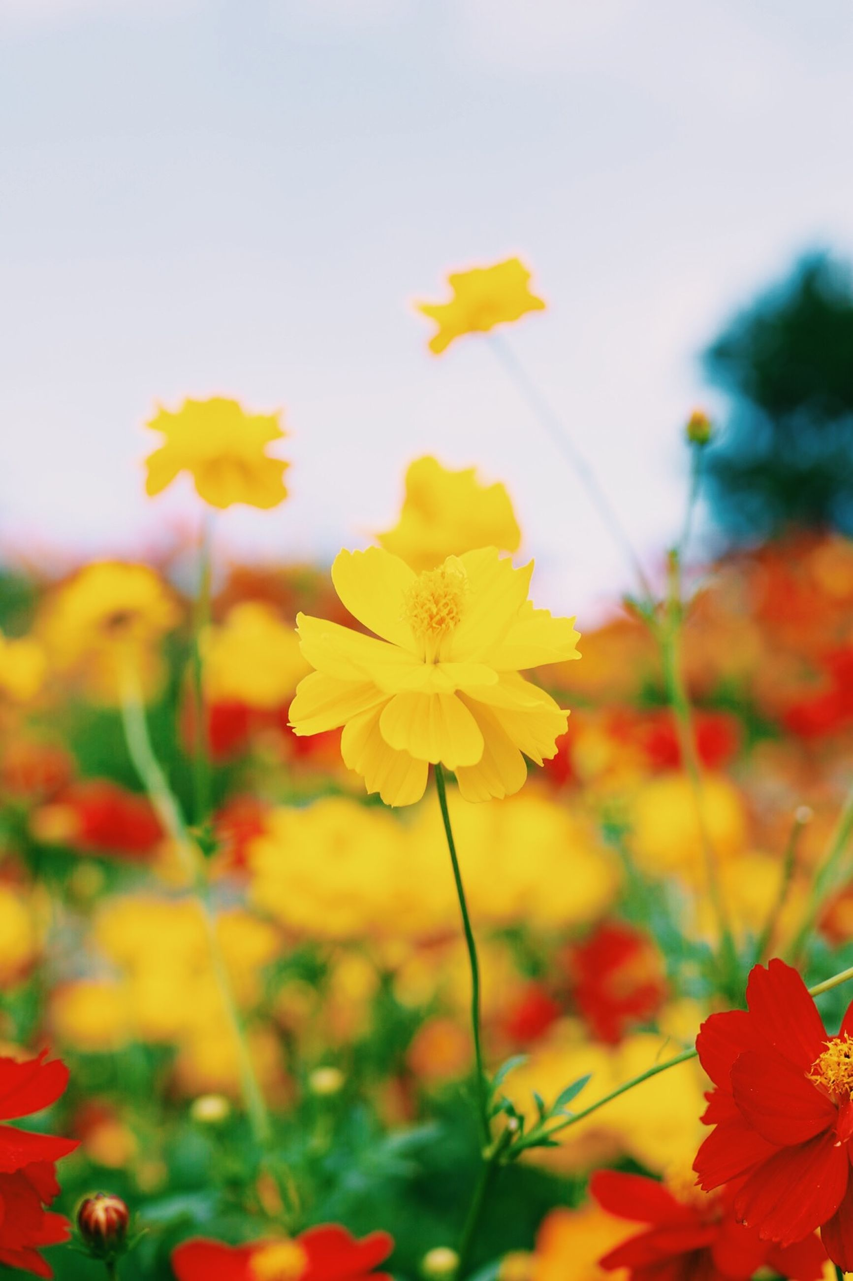 flower, freshness, fragility, petal, growth, beauty in nature, flower head, blooming, focus on foreground, nature, yellow, plant, stem, in bloom, close-up, field, sky, blossom, red, springtime
